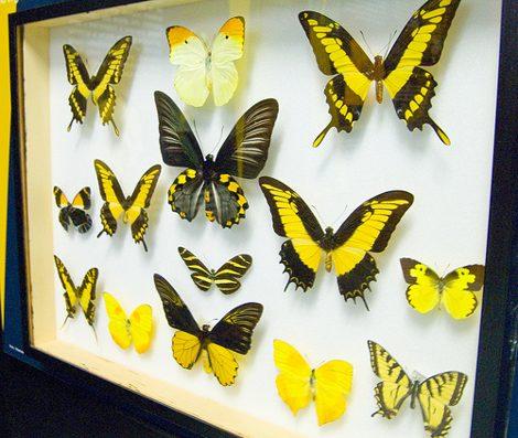 бизнес на продаже бабочек
