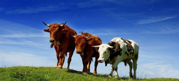 Разведение бычков