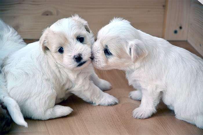 Разведение собак